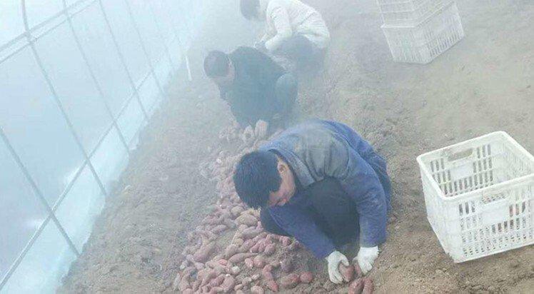 龙薯九号红薯苗批发基地