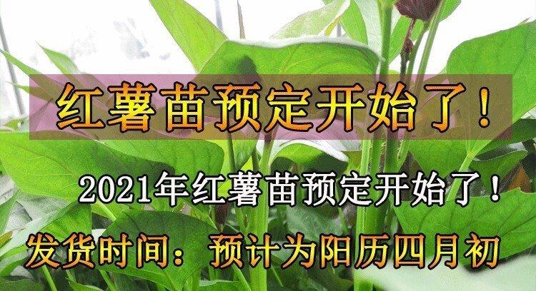 济薯26红薯苗批发基地