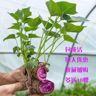 紫薯苗批发市场基地