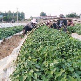 济薯26号红薯苗批发基地