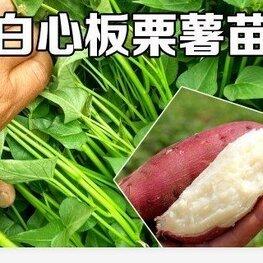 板栗红薯苗批发基地