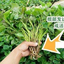 商薯19红薯苗批发基地