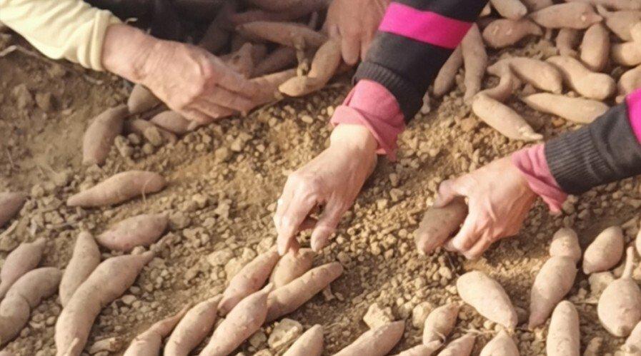 六鳌红蜜薯苗批发基地