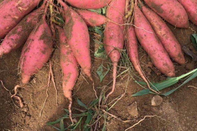 西瓜红红薯苗批发价格最新行情