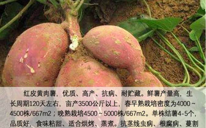 济薯26号红薯苗批发价格最新行情