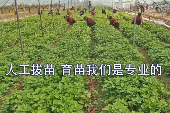 普薯32号红薯苗批发价格最新行情
