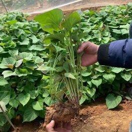 烟薯25红薯苗批发价格最新行情