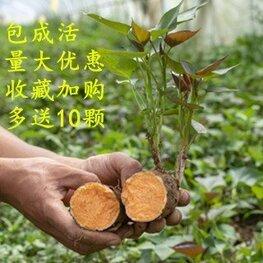普薯32号红薯苗批发