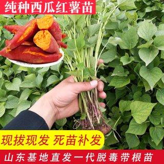 西瓜红红薯苗多少钱一棵