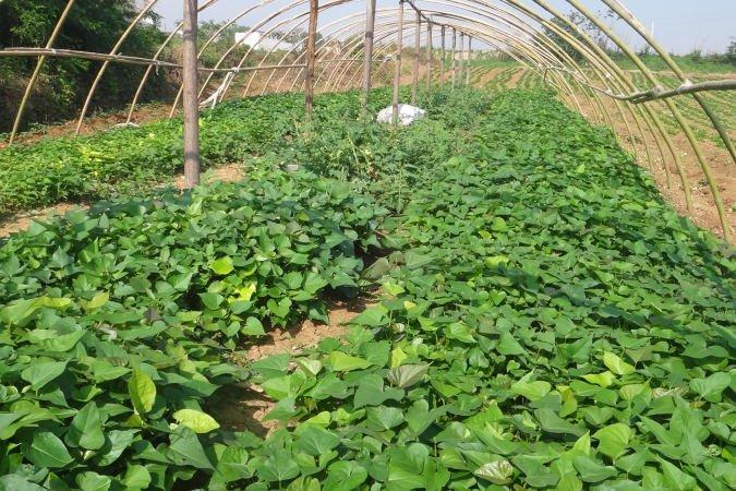 龙九红薯苗多少钱一棵