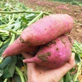 哈密红薯苗多少钱一棵