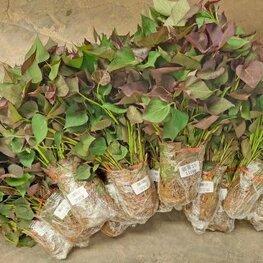商薯19红薯苗多少钱一棵