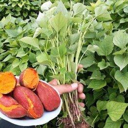 山东蜜薯苗多少钱一棵