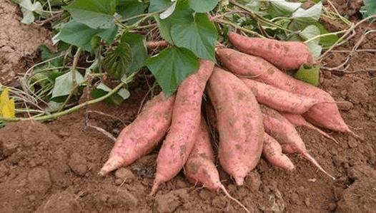 济薯26号红薯品种介绍价格